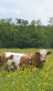 montbeliard-cow-for-blog1