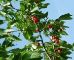 Cherries in Collio