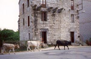 Corsican cows