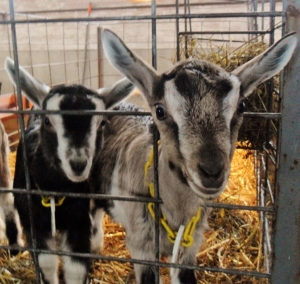 Hudson Valley goats